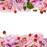 Roses de floraison roses Image libre de droits