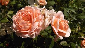 Roses de floraison Photo stock