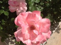 2 roses de floraison Image libre de droits