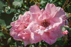 Roses de floraison Photos libres de droits
