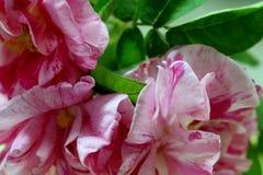 Roses de floraison avec les pétales rayés roses et blancs Photo libre de droits