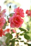Roses de floraison dans le jardin Photos libres de droits