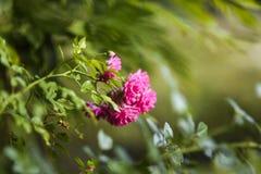 Roses roses de floraison dans le jardin, heure d'été en Pologne Photographie stock libre de droits