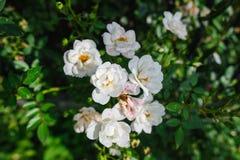 Roses de floraison de blanc Images stock