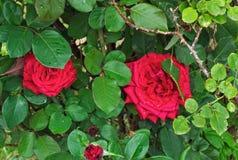 Roses de floraison entre les branches et les feuilles Image stock