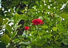Roses de floraison entre les branches et les feuilles Image libre de droits