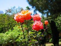 Roses de floraison, jardins de vallée de Pomone, Pomone, la Californie Image stock