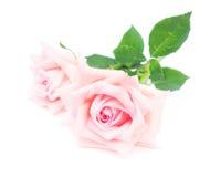 Roses de floraison roses Image stock