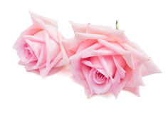 Roses de floraison roses Photographie stock libre de droits