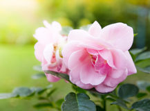 Roses de jardin Photographie stock