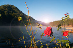 Roses de matin photographie stock libre de droits
