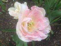 Roses de matin photographie stock