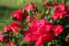 Roses de matin rouge-rose photos libres de droits