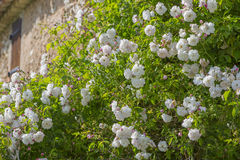 Roses de mur sur une maison hors d'usage images libres de droits