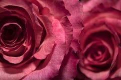 Roses de plan rapproché Images libres de droits