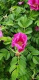 Roses de région sauvage dans le rose avec la verdure photos libres de droits