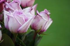 Roses de rose et blanches élégantes images libres de droits