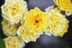 Roses de Yelloow images libres de droits