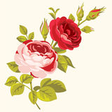 Roses decorative Royalty Free Stock Photography