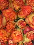 Roses. In a deep orange color for special occasions anniversary birthday party gift of love Royalty Free Stock Photos