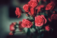 Roses. Delicate bouquet of red roses Stock Photos
