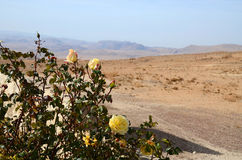 Roses in the desert Royalty Free Stock Image