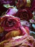 Roses desséchées Photographie stock libre de droits