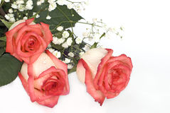 Roses with dew drops Royalty Free Stock Photography