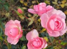 Roses roses douces dans le jardin de parc image libre de droits