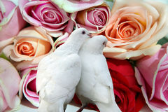 Roses and doves. Beautiful roes and doves in love royalty free stock photography