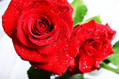 Roses with drops Royalty Free Stock Photos