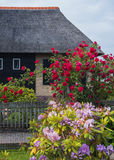 Roses by dutch country side house Royalty Free Stock Image