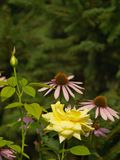 Roses and echinacea Stock Images