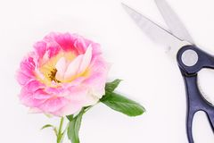 Roses en gros plan sur un fond blanc, carte postale pendant des vacances, belles fleurs, images stock