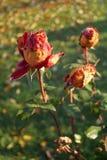 Roses en novembre Images libres de droits