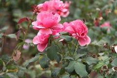 Roses roses et blanches Images libres de droits