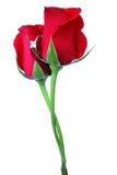 Roses et boucle Images libres de droits