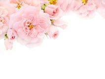 Roses et bourgeons roses dans le coin du fond blanc Image libre de droits