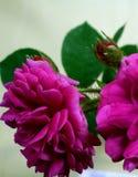 Roses et boutons de rose roses de floraison Photographie stock