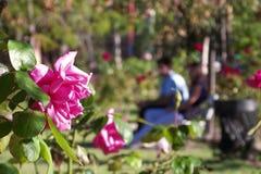 Roses et deux ou trois amants Photos stock
