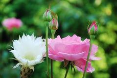 Roses et fleurs dans le jardin Photo libre de droits