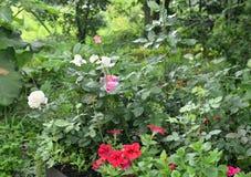 Roses et fleurs de floraison de pétunia avec des baisses de l'eau dans le parterre après la pluie image libre de droits