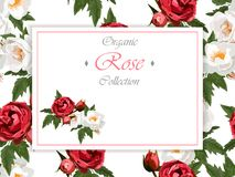 Roses et guindineaux Photo stock
