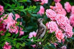 Roses et moineau Images stock