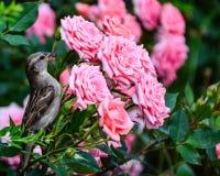 Roses et moineau Photo libre de droits