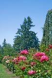 Roses et plantes vertes verticales Photos stock
