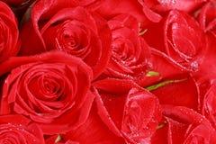 Roses et rosée rouges Photographie stock libre de droits