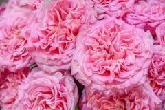Roses exotiques des variétés modernes roses d'élite dans le bouquet comme cadeau Fond Foyer sélectif photos libres de droits