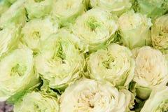 Roses exotiques des variétés modernes d'élite vert-rose dans le bouquet comme cadeau Fond photographie stock