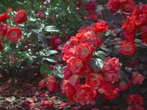 Roses fall to the ground in the garden. Natural floral background. Stock Photos